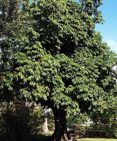 Дерево пахира бывает до 20м