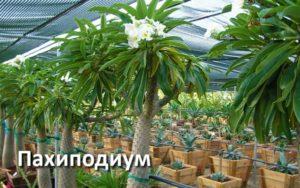 Пахиподиумы цветенеи и размножение