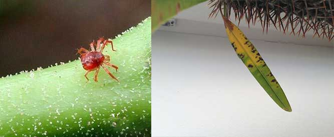 Пожелтение листьев и клещ на пахиподиум ламера