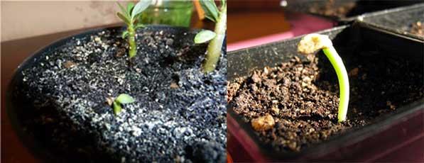 Всходы семян пахиподиум ламера