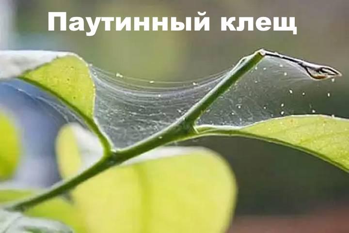 Клещ на листьях клеродендрума