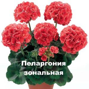 Растение пеларгония зональная