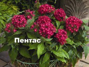Растение пентас