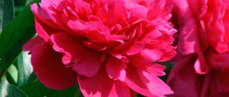 Красивый цветок - пион