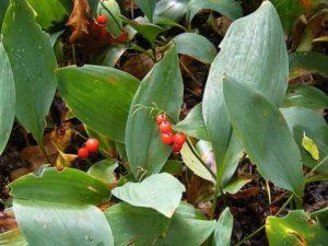 Красные ягоды ландыша