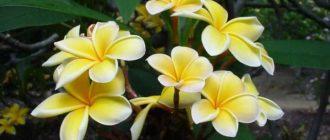 Растение плюмерия