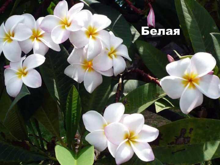 Вид растения - плюмерия белая