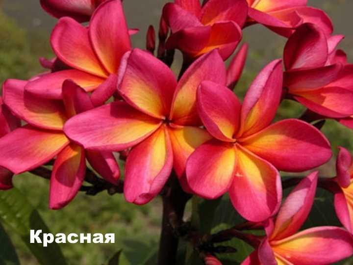 Вид растения - плюмерия красная