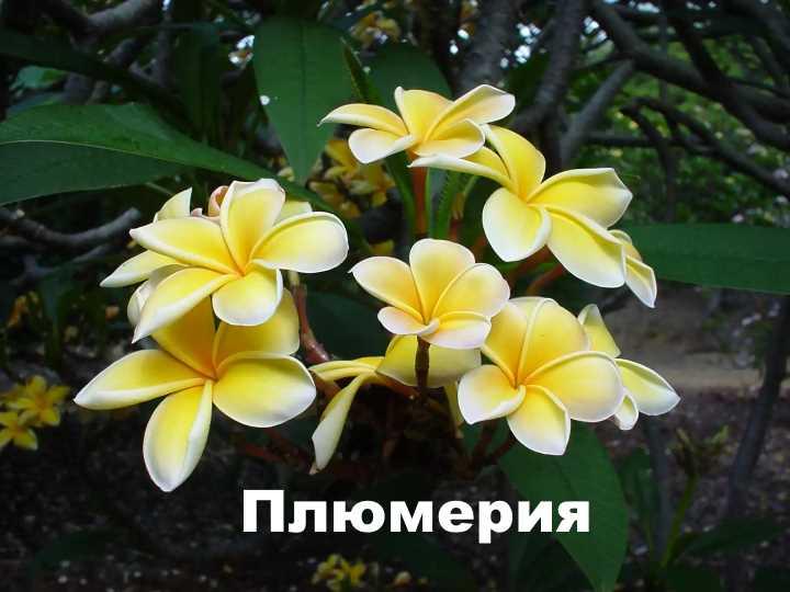 Плюмерия выращивание из семян уход за растением
