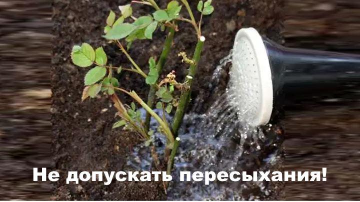 Правильный полив флорибунды