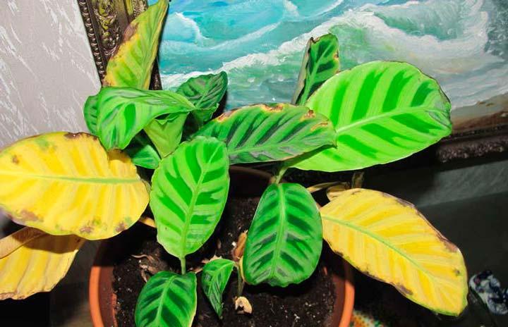 Причины пожелтевших листьев на калатее
