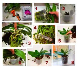 Пересаживание орхидеи пошагово