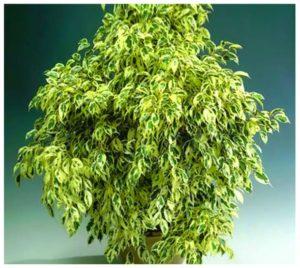 Густая листва фикуса