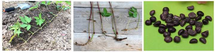 Девичий виноград в семенах, черенках и отводках