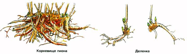 Вегетативное размножение пиона делением