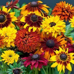 Ухоженные цветы рудбекии