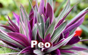 Растение Рео