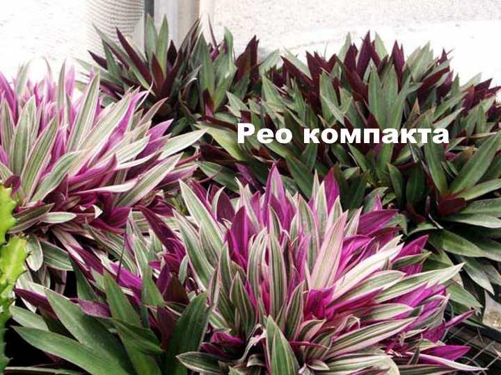 Вид растения - рео компакта