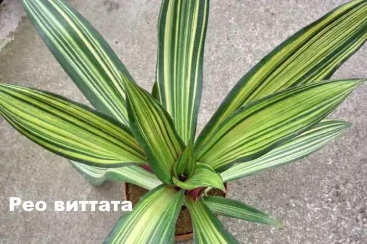 Вид растения - рео витатта