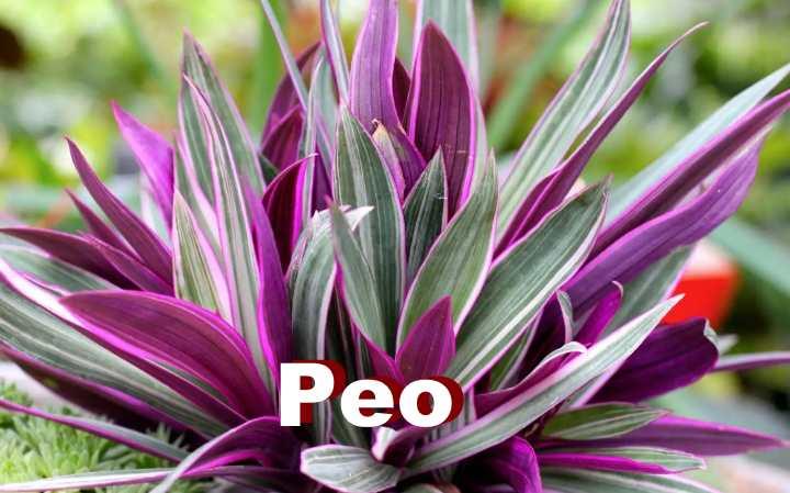Комнатный цветок рео пестрое: польза и вред, уход, фото