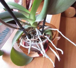 Корни торчат из горшка орхидеи