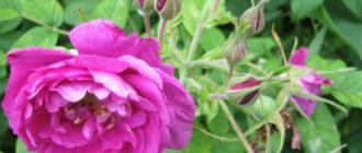 Вид парковой розы - морщинистая