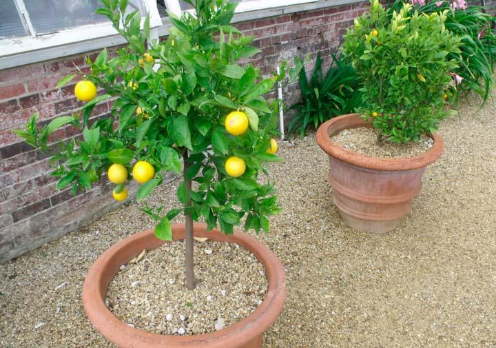 Выращивание лимона из саженца