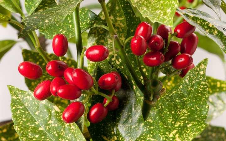 Аукубы плоды - будущие семена
