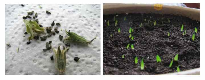 Посаженные и сухие семена хавортии