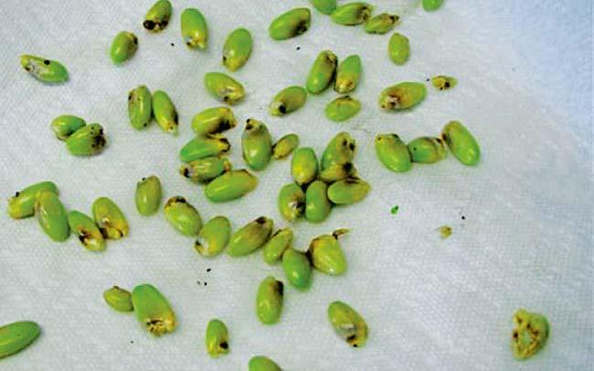 Семена монстеры