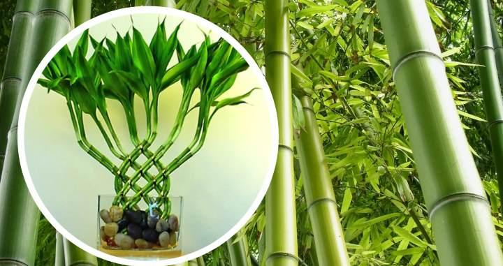 рассадить бамбук