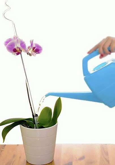 Полив орхидей - правила