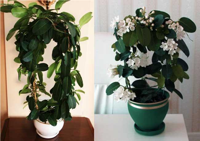 Стефанотис цветущий и без цветков