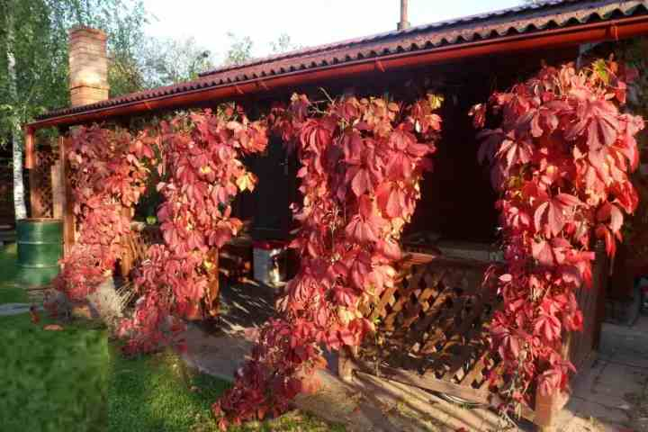 Девичий виноград в виде столбиков