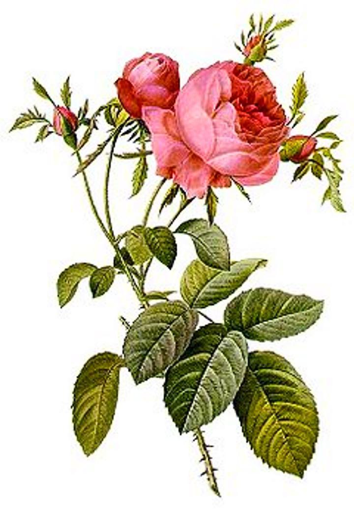 Роза флорибунда. Рисунок строения