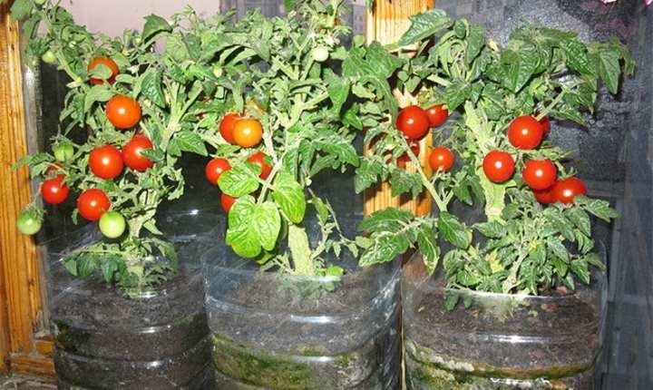 Оконные томаты в бутылках