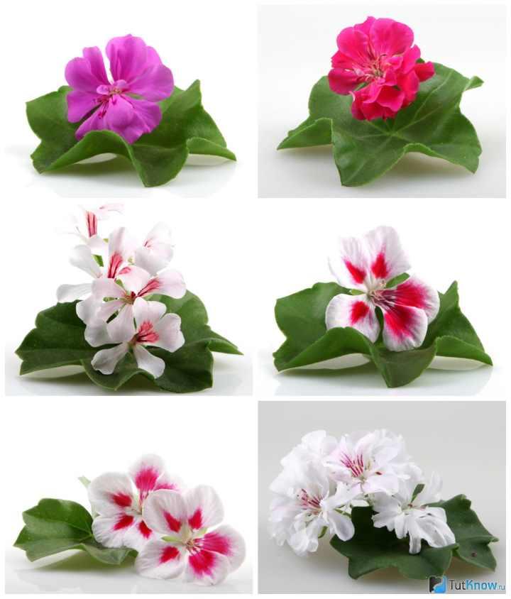 Пеларгония зональная в расцветках