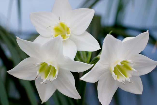 Очень красивые цветы Эухариса