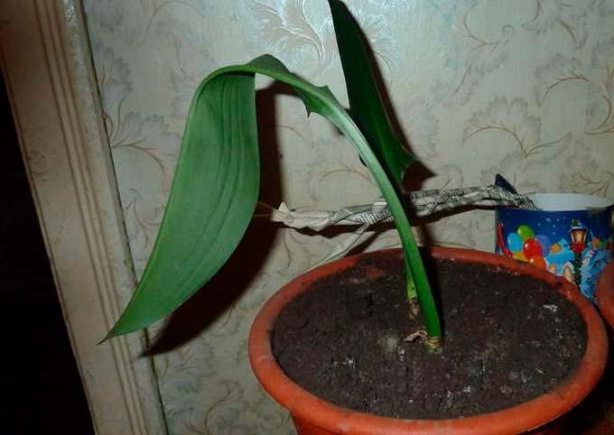 Скручивание и вялость листьев эухариса