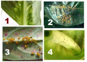4 вида вредителей диффенбахии