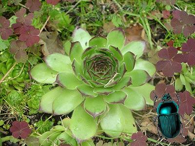 Молодило и майский жук