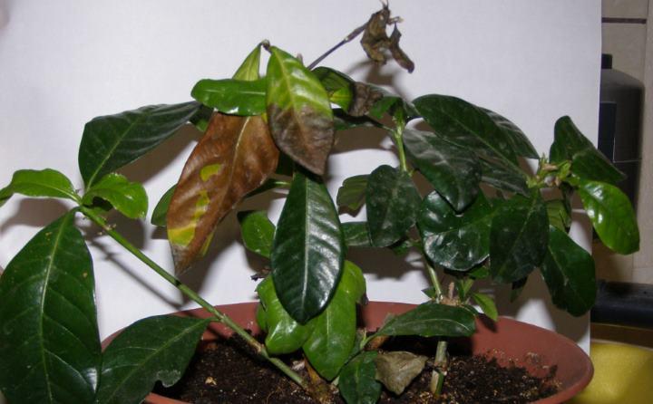 Черные листья на гардении
