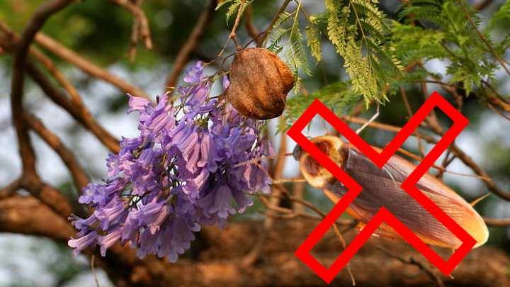 Жук на дереве жакаранда