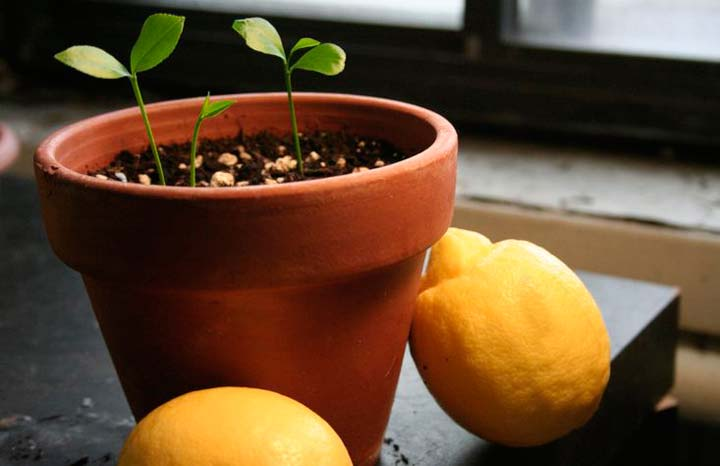 Способы посадки лимона