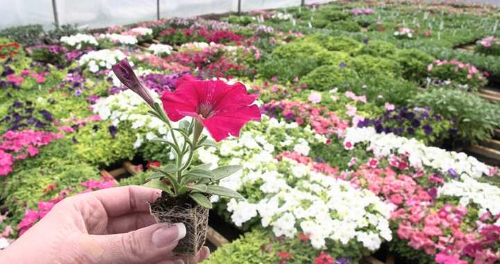 Маленькое растение петунии