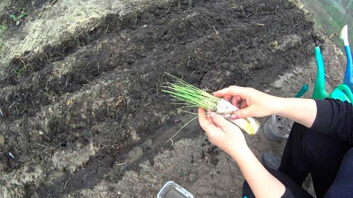 Высадка рассады лука-порея в открытый грунт
