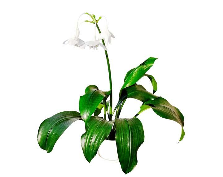Высота цветка Эухариса