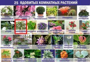 Диффенбахия в списке ядовитых растений