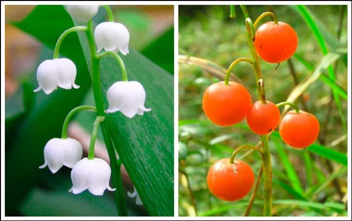 Ядовитые свойства ягод ландыша