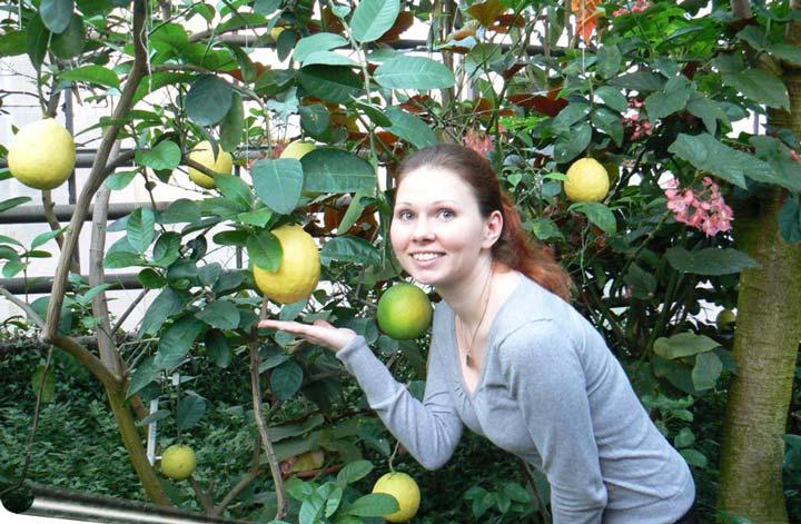 «Юбилейный» сорт лимона